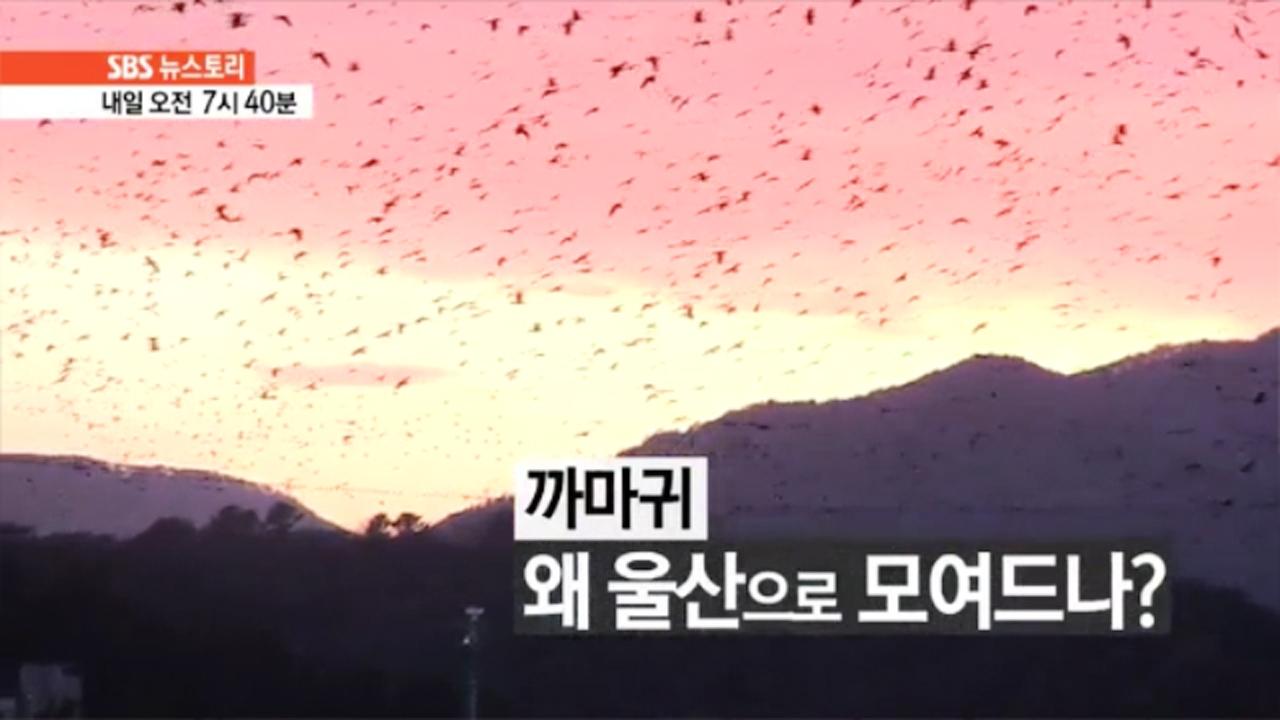 SBS 뉴스토리 까마귀, 왜 울산으로 모여드... 110회 썸네일 이미지