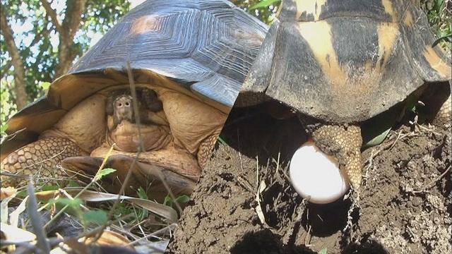알낳는 마다가스카르 방사상 거북 (정글의 법칙3)