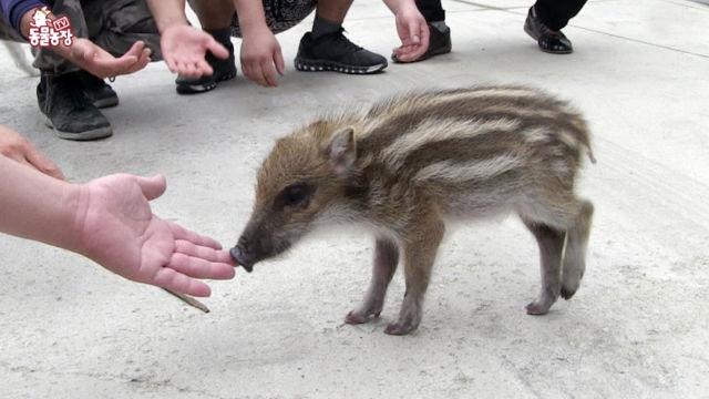 정비공장에 사는 아기 멧돼지  '꾸꾸' 썸네일 이미지