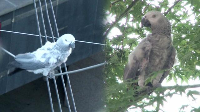 길 잃은 '회색 앵무새' 전깃줄 위에서 아찔한 곡예 썸네일 이미지