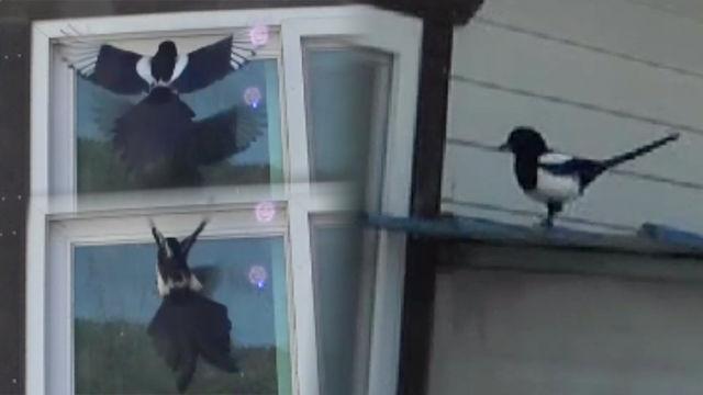 해만 뜨면 창문으로 돌격하는 '까치의 비밀' 썸네일 이미지