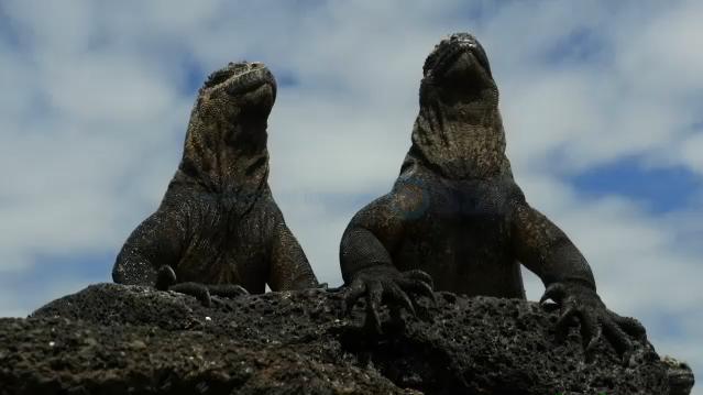 갈라파고스섬 이구아나(SBS스페셜)